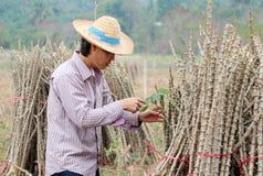 Αρσενικός αγρότης που πιάνει το μίσχο φύλλων του φυτού ταπιόκας με το άκρο ταπιόκας που κόβει το σωρό μαζί στο αγρόκτημα στοκ εικόνες