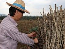 Αρσενικός αγρότης που πιάνει το μίσχο φύλλων του φυτού ταπιόκας με το άκρο ταπιόκας που κόβει το σωρό μαζί στο αγρόκτημα στοκ φωτογραφία