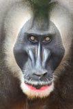 Πίθηκος τρυπανιών Στοκ φωτογραφίες με δικαίωμα ελεύθερης χρήσης