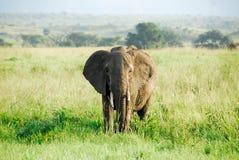 Αρσενικός αφρικανικός ελέφαντας, Kidepo κοιλάδα NP, Ουγκάντα Στοκ φωτογραφία με δικαίωμα ελεύθερης χρήσης
