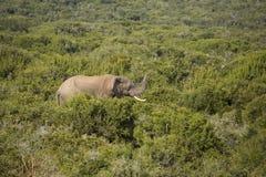 Αρσενικός αφρικανικός ελέφαντας στο θάμνο Στοκ Φωτογραφίες