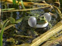 Αρσενικός βάτραχος Στοκ φωτογραφία με δικαίωμα ελεύθερης χρήσης
