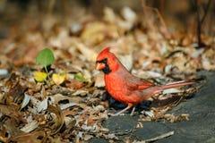 Αρσενικός βόρειος καρδινάλιος στα φύλλα φθινοπώρου στοκ φωτογραφία
