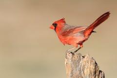 Αρσενικός βόρειος καρδινάλιος - Τέξας στοκ φωτογραφία με δικαίωμα ελεύθερης χρήσης
