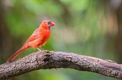 Αρσενικός βόρειος κόκκινος καρδινάλιος Στοκ Φωτογραφίες