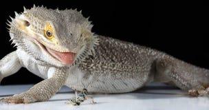 Αρσενικός γενειοφόρος δράκος που τρώει την ακρίδα Στοκ εικόνα με δικαίωμα ελεύθερης χρήσης