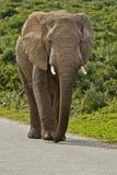 Αρσενικός ελέφαντας σε έναν δρόμο πίσσας Στοκ φωτογραφία με δικαίωμα ελεύθερης χρήσης