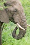Αρσενικός ελέφαντας με τους χαυλιόδοντες ελεφαντόδοντου που τρώει τη βούρτσα στην επιφύλαξη παιχνιδιού Umfolozi, Νότια Αφρική, πο Στοκ Φωτογραφίες