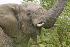 Αρσενικός ελέφαντας με τους χαυλιόδοντες ελεφαντόδοντου που τρώει τη βούρτσα στην επιφύλαξη παιχνιδιού Umfolozi, Νότια Αφρική, πο Στοκ φωτογραφία με δικαίωμα ελεύθερης χρήσης