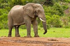 Αρσενικός ελέφαντας σε μια τρύπα νερού Στοκ φωτογραφία με δικαίωμα ελεύθερης χρήσης