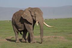 Αρσενικός ελέφαντας σε Ngorongoro, Τανζανία Στοκ Εικόνες