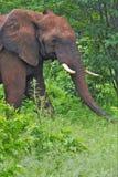 Αρσενικός ελέφαντας στον κορμό βουρτσών εκτεταμένο Στοκ Φωτογραφίες