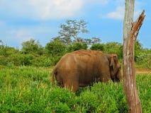 Αρσενικός ελέφαντας στο NP Udawalawe Στοκ Φωτογραφίες
