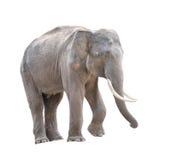 Αρσενικός ελέφαντας της Ασίας που απομονώνεται Στοκ εικόνα με δικαίωμα ελεύθερης χρήσης