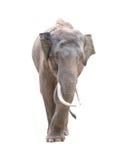 Αρσενικός ελέφαντας της Ασίας που απομονώνεται Στοκ Εικόνα