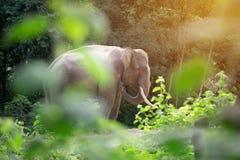 Αρσενικός ελέφαντας της Ασίας που στέκεται πίσω από το θάμνο Στοκ Εικόνα
