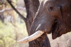 Αρσενικός ελέφαντας του Bull - Chobe Ν Π Μποτσουάνα, Αφρική Στοκ εικόνα με δικαίωμα ελεύθερης χρήσης