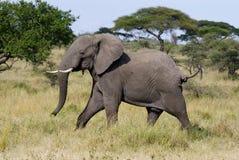 0 αρσενικός ελέφαντας Στοκ φωτογραφία με δικαίωμα ελεύθερης χρήσης