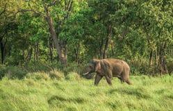 Αρσενικός ελέφαντας Στοκ εικόνες με δικαίωμα ελεύθερης χρήσης