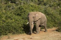 Αρσενικός ελέφαντας Στοκ φωτογραφία με δικαίωμα ελεύθερης χρήσης