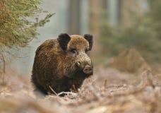 Αρσενικός κάπρος στο δάσος Στοκ Φωτογραφίες