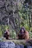 Αρσενικός και θηλυκός Orangutan Στοκ Εικόνες