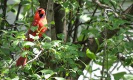 Αρσενικός καρδινάλιος στο δέντρο Στοκ φωτογραφίες με δικαίωμα ελεύθερης χρήσης