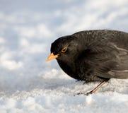 Αρσενικός κοινός κότσυφας στο χιόνι στοκ φωτογραφίες με δικαίωμα ελεύθερης χρήσης