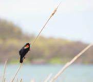 αρσενικός κόκκινος φτερ στοκ εικόνες