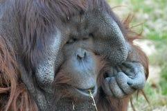 Αρσενικός ουρακοτάγκος Utan Bornean Στοκ φωτογραφίες με δικαίωμα ελεύθερης χρήσης