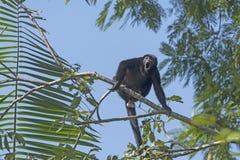 Αρσενικός πίθηκος μαργαριταριού που ουρλιάζει στα δέντρα Στοκ φωτογραφίες με δικαίωμα ελεύθερης χρήσης