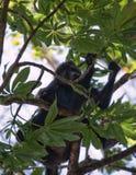 Αρσενικός πίθηκος μαργαριταριού Στοκ Φωτογραφία