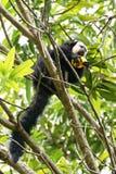 Αρσενικός πίθηκος προσώπου saki άσπρος Στοκ εικόνες με δικαίωμα ελεύθερης χρήσης