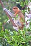 Αρσενικός πίθηκος proboscis στο Μπόρνεο, Ινδονησία Στοκ Εικόνες