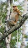 Αρσενικός πίθηκος proboscis στο Μπόρνεο, Ινδονησία Στοκ Φωτογραφία