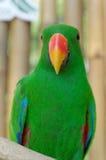 αρσενικός παπαγάλος eclectus Στοκ φωτογραφία με δικαίωμα ελεύθερης χρήσης