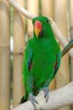 αρσενικός παπαγάλος eclectus Στοκ εικόνα με δικαίωμα ελεύθερης χρήσης