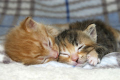 Αρσενικός πορτοκαλής τιγρέ ύπνος γατακιών δίπλα στο γατάκι αδελφών tortie torbie Στοκ Εικόνες