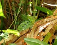 Αρσενικός πράσινος βασιλίσκος, Basiliscus plumifrons Στοκ Εικόνες