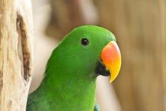 Αρσενικός πράσινος παπαγάλος Eclectus Στοκ Εικόνα