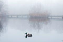 Αρσενικός πρασινολαίμης που κολυμπά στη λίμνη στο misty ομιχλώδη καιρό Στοκ φωτογραφία με δικαίωμα ελεύθερης χρήσης