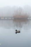 Αρσενικός πρασινολαίμης που κολυμπά στη λίμνη στο misty ομιχλώδη καιρό με την ξύλινη γέφυρα και τον κάλαμο στο υπόβαθρο Στοκ εικόνες με δικαίωμα ελεύθερης χρήσης