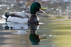 Αρσενικός πρασινολαίμης Quacking Στοκ φωτογραφία με δικαίωμα ελεύθερης χρήσης