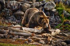Αρσενικός σταχτύς αντέχει κοντά στο εθνικό πάρκο Yellowstone Στοκ Εικόνες