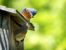 Αρσενικός σύντροφος τροφών Bluebird στοκ φωτογραφία με δικαίωμα ελεύθερης χρήσης