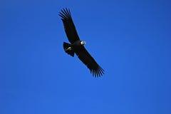 Αρσενικός των Άνδεων κόνδορας που πετά κοντά Στοκ εικόνα με δικαίωμα ελεύθερης χρήσης