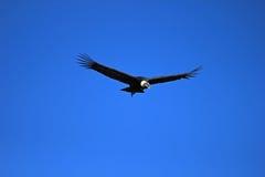 Αρσενικός των Άνδεων κόνδορας που πετά κοντά Στοκ εικόνες με δικαίωμα ελεύθερης χρήσης