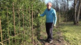 Αρσενικός φράκτης φρακτών δέντρων έλατου περιποίησης ατόμων κηπουρών με τους κουρευτές ζώων 4K απόθεμα βίντεο