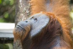 Αρσενικός Orang-utan στο δάσος Kalimantan στοκ εικόνες με δικαίωμα ελεύθερης χρήσης