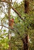 Αρσενικός Proboscis πίθηκος ελεύθερος-διαβίωσης στη ζούγκλα Borneos Στοκ φωτογραφία με δικαίωμα ελεύθερης χρήσης